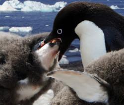 Birte Person: Adelle Penguin Feeding