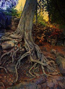 Ron Germundson: Old Cedar